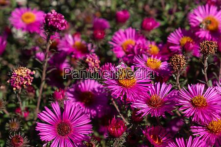 biene sammelt pollen auf lila chrysanthemen