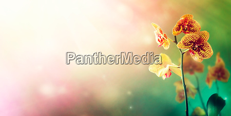orchid flower background