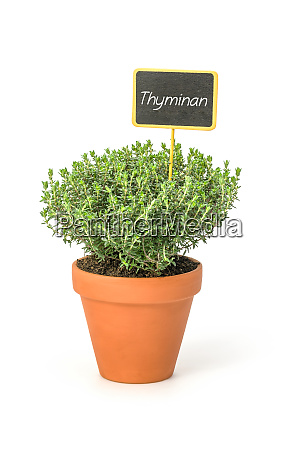 thyme in a clay pot with