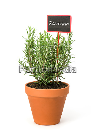 rosemary in a clay pot with