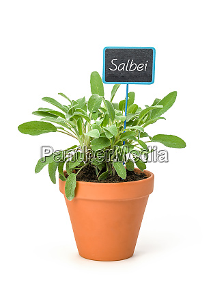 sage in a clay pot with