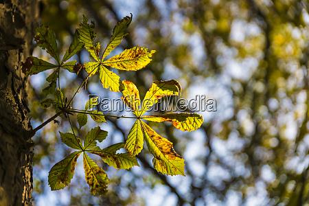 chestnut leaf in autumn