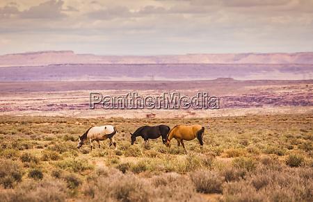 usa arizona grand canyon three horses