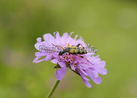 albania theth national park spotted longhorn