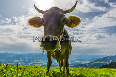 germany allgaeu brown cattle standing on