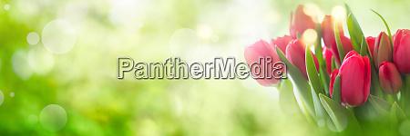 tulpen auf fruehlingshintergrund
