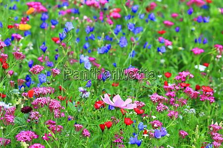 blumenwiese im sommer mit verschiedenen bunten