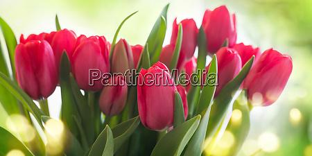 tulpen auf sonnigem hintergrund