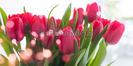 rote tulpen mit bokeh