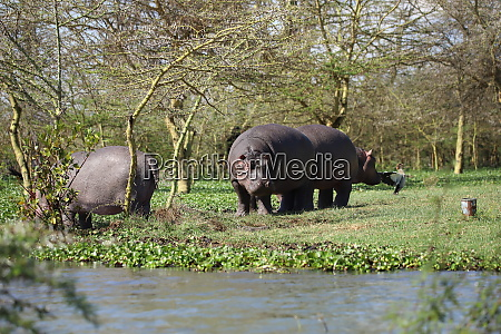 hippos at the shore of lake