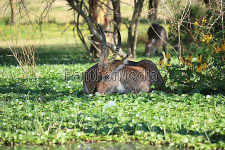 waterbucks at lake naivasha in kenya