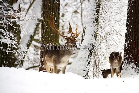 fallow deers in the wild