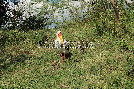 sitting yellow billed stork in the