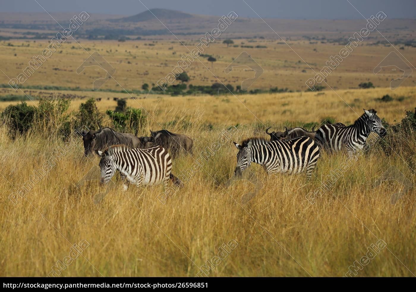 wandernde, ebenen, zebras, in, der, masai - 26596851