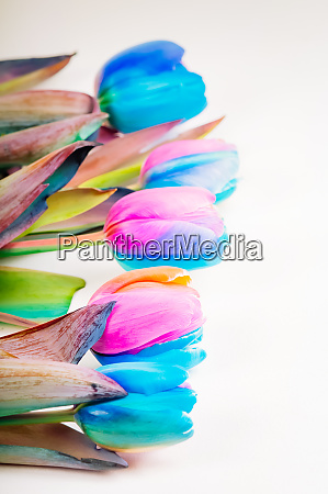 vertikales schiessen von mehrfarbigen tulpen