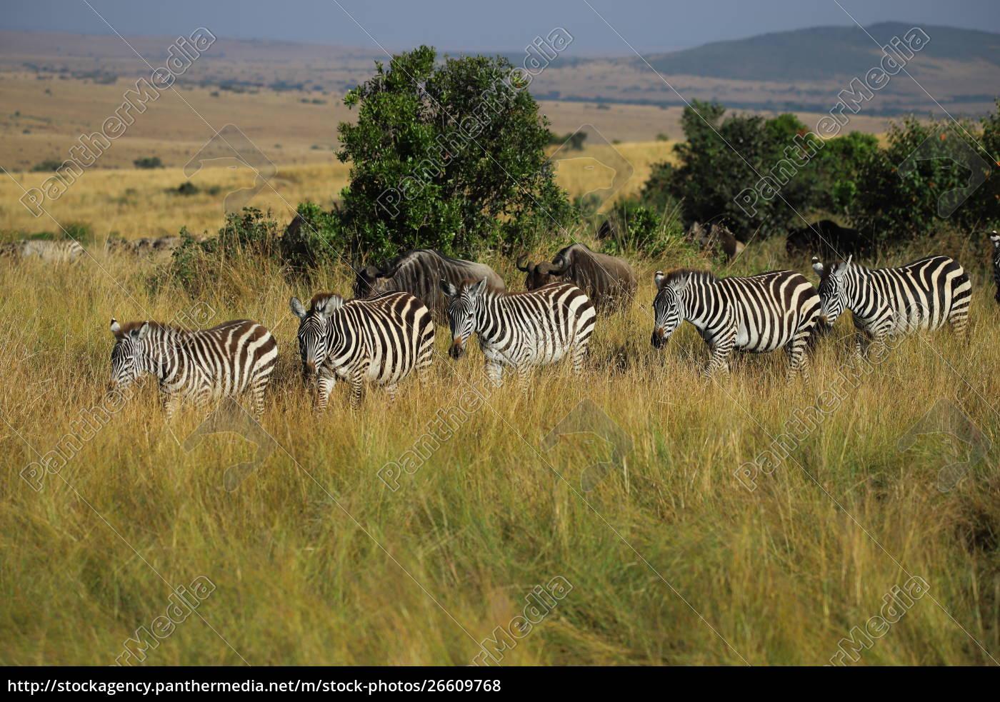 zebras, und, gnus, wandern, seite, an - 26609768