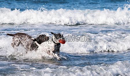 hunde die im ozean spielen