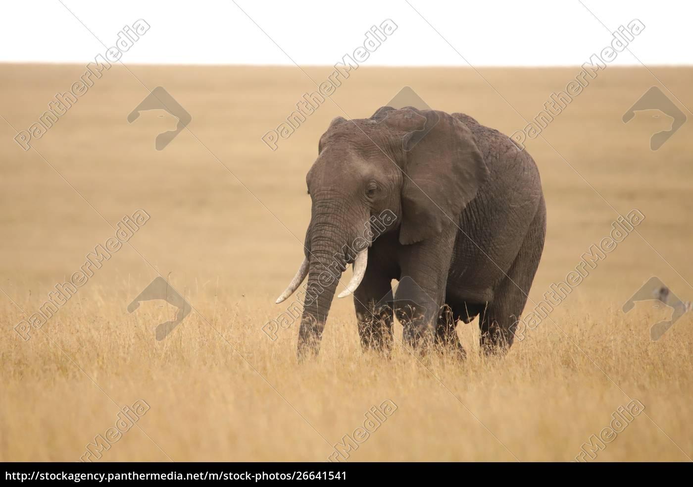 einzelelefant, im, grasland, der, masai, mara - 26641541