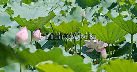 pink lotus garden