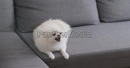 weisse pommersche hund rinde auf sofa