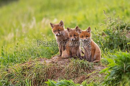 rotfuchs vulpes vulpes kleine junge jungen