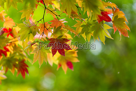maple tree over green background
