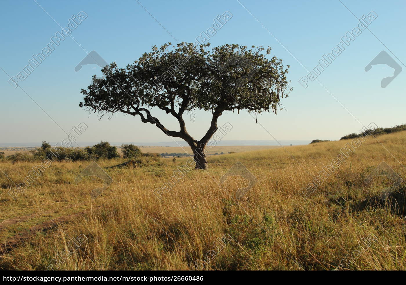 kigelia, africana, in, kenia - 26660486