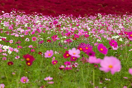 cosmos flower field garden