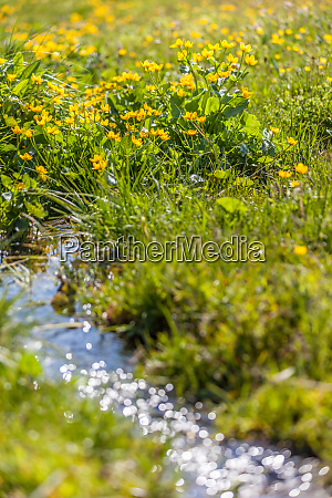 marsh marigold flowers caltha palustris and