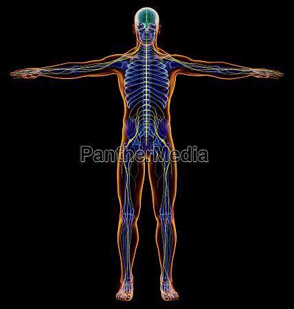 man diagram x ray nervous system