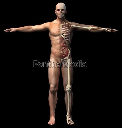 man skeletal and internal organs diagram