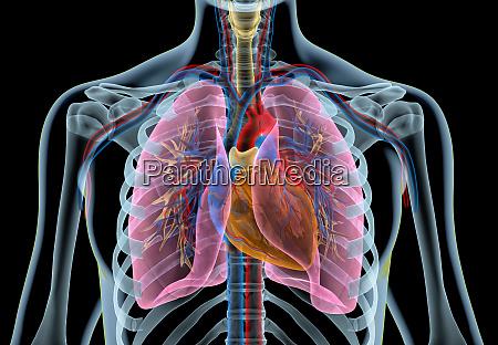 menschliches herz mit gefaessen lunge bronchialbaum