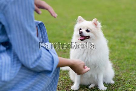 pommersche hund warten auf befehl