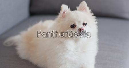 pommersche hund sitzt auf sofa