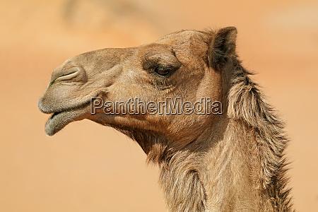 nahaufnahme portraet eines kamels