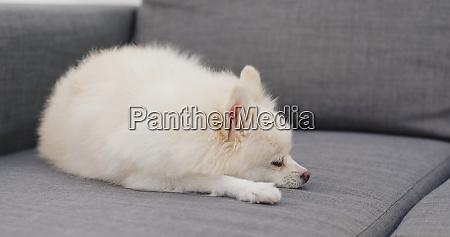 pommersche hund schlafen auf dem sofa