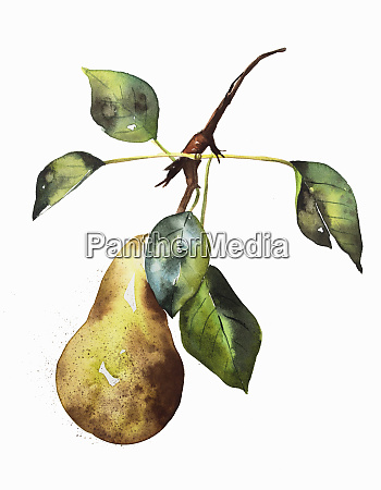 watercolour painting of ripe pear on