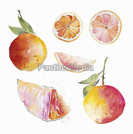 watercolour painting of pink grapefruit