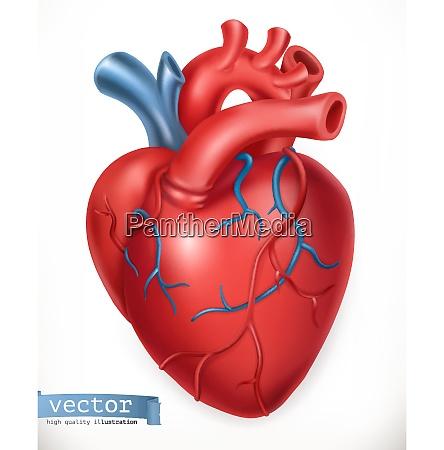 herz mensch anatomie medizin organ illustration
