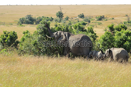 elephant family eats from a bush