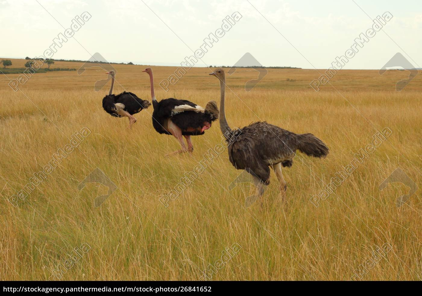 three, masai, ostriches, in, the, masai - 26841652