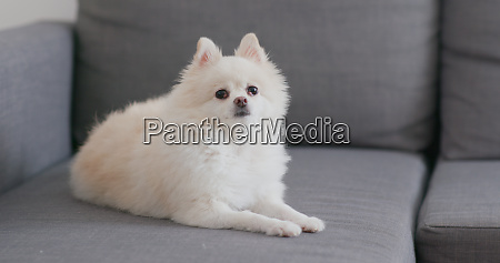 weisser pommerscher hund auf dem sofa