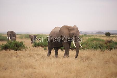 elephants, in, amboseli, national, park - 26845896