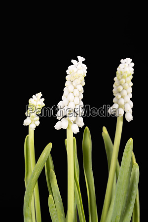 group of white muscari flower on