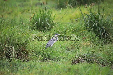heron surrounded by green grass in