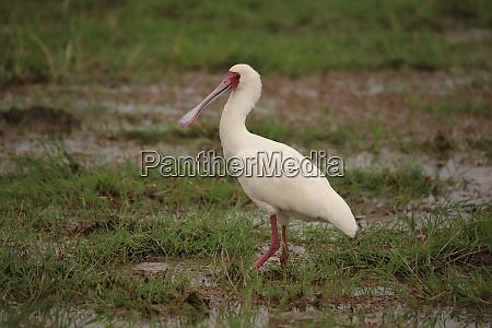 african, spoonbill, in, the, wetlands - 26860608