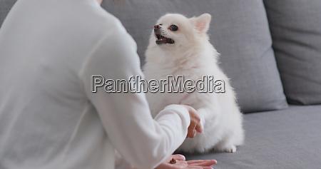 haustierbesitzerin trainiert auf ihrem pommerschen hund