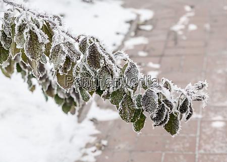 frostpflanzen - 26865015