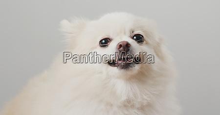 pommersche hunderinde