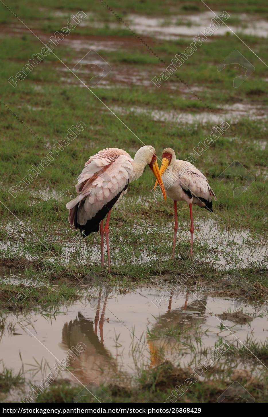two, yellow-billed, storks, look, at, each - 26868429